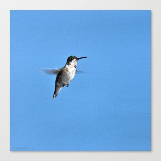 Juvenile Ruby-Throated Hummingbird Canvas Print