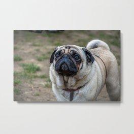 Pug portrait Metal Print