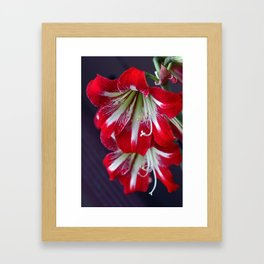 Hippeastrum Framed Art Print
