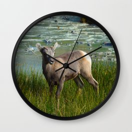 Baby big horn sheep in Jasper National Park Wall Clock