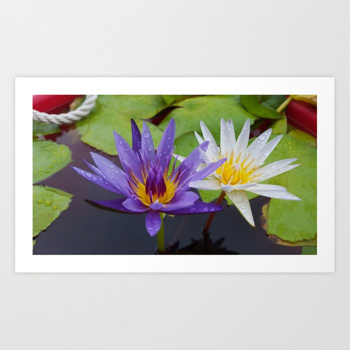 Loving Lotuses Art Print