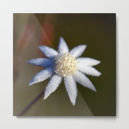 Not So Lesser Flannel Flower Metal Print