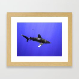 Oceanic Whitetip with Pilot Fish Framed Art Print
