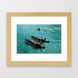 Swimming Pigs In The Exumas, Bahamas, Caribbean  Framed Art Print
