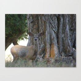 Mule-tail Deer, Buck in Velvet Canvas Print