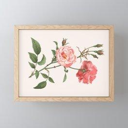 Rosa Semplerflorens Framed Mini Art Print