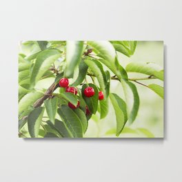 Red juicy ripe cherries on a branch Metal Print