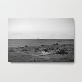Lone lioness rests on African savanna Metal Print