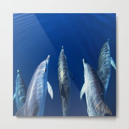 Playful and friendly dolphins Metal Print