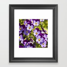 Happy pansies  Framed Art Print