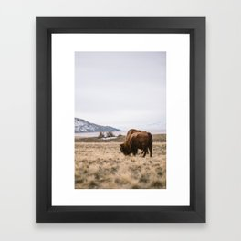 Bison feeding Framed Art Print