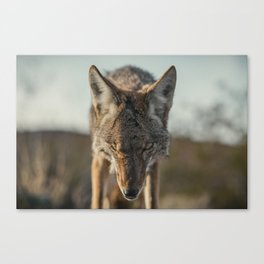 Scarred Coyote Canvas Print