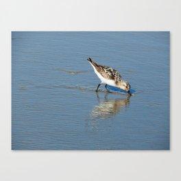 Reflective sandpiper Canvas Print