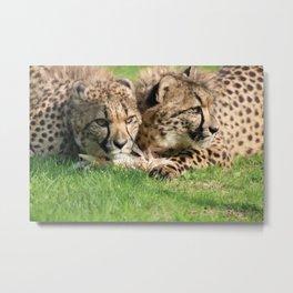 watching cheetahs Metal Print