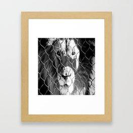 Caged Lion Framed Art Print