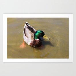Swimming Mallard Art Print