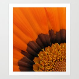 Orange Gazania Art Print