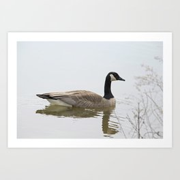 Canadian Goose Swimming Art Print