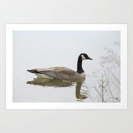 Canadian Goose Swimming Art Print