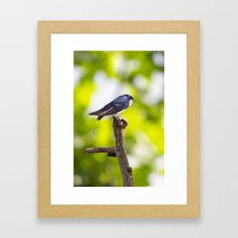 Little Blue Tree Swallow Framed Art Print