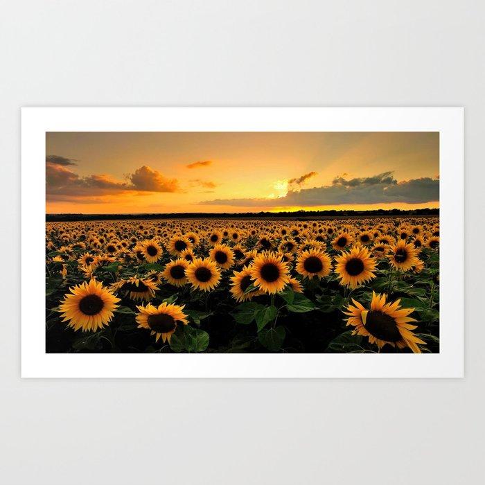 Sunflower field Kunstdrucke