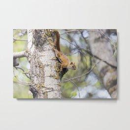 Red Squirrel 7 Metal Print