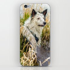 Welsh Boarder Collie iPhone & iPod Skin