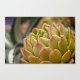 Succulent Plant - Mini Cactus - Sucus Canvas Print