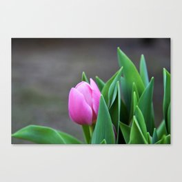 First Pink Tulip Canvas Print