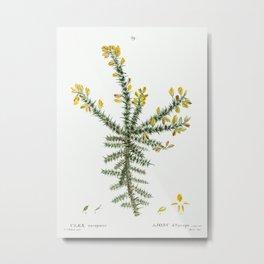 Gorse (Ulex europaeus) from Traité des Arbres et Arbustes que l'on cultive en France en pleine terre Metal Print