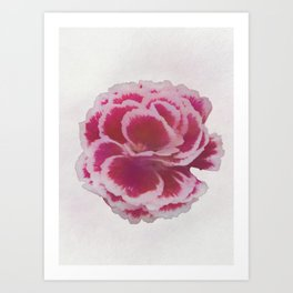 isolated carnation in the garden Art Print