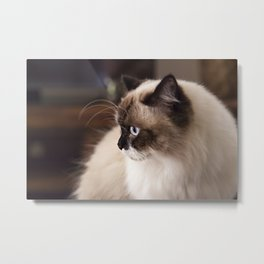 Chocolate Ragdoll Cat Metal Print