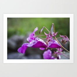 Indian Balsam Bokeh on the banks of the River Tay in Scotland Art Print