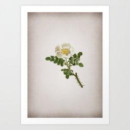 Vintage Burnet Rose Botanical on Parchment Art Print
