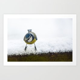 Blue tit bird on snow. Cyanistes caeruleus. Art Print