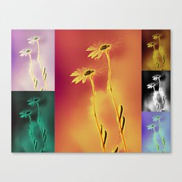 Daisies in many colors Canvas Print