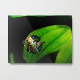 Koi Betta Boy Metal Print