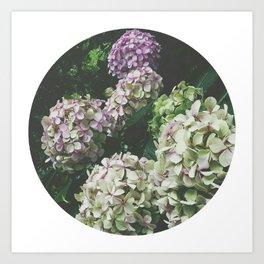 Hydrandgeas Art Print