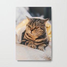 Funny Kitten Scottish Stright Breed Laying Metal Print