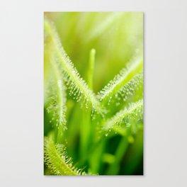 Green leaves of sundews Canvas Print