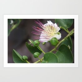 Capers Flower And Fruits Art Print