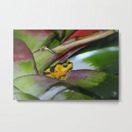 Panamanian Golden Frog Metal Print