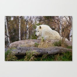 Arctic Wolf Caught Napping Canvas Print