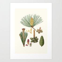 Pinus pinaster - The pinaster, or Cluster pine (1837) - Aylmer Bourke Lambert Art Print