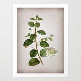 Vintage Caper Plant Botanical on Parchment Art Print