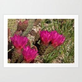 Beavertail Cactus in Bloom - II Art Print
