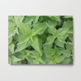 NETTLE  Magic Herb Metal Print
