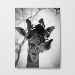 Giraffe Sticks Out Tongue Nature Photography Metal Print