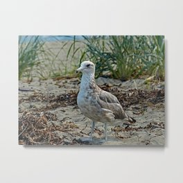 Jetty Island Gull Metal Print