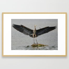 Spreading Wings Pacific Great Blue Heron Framed Art Print